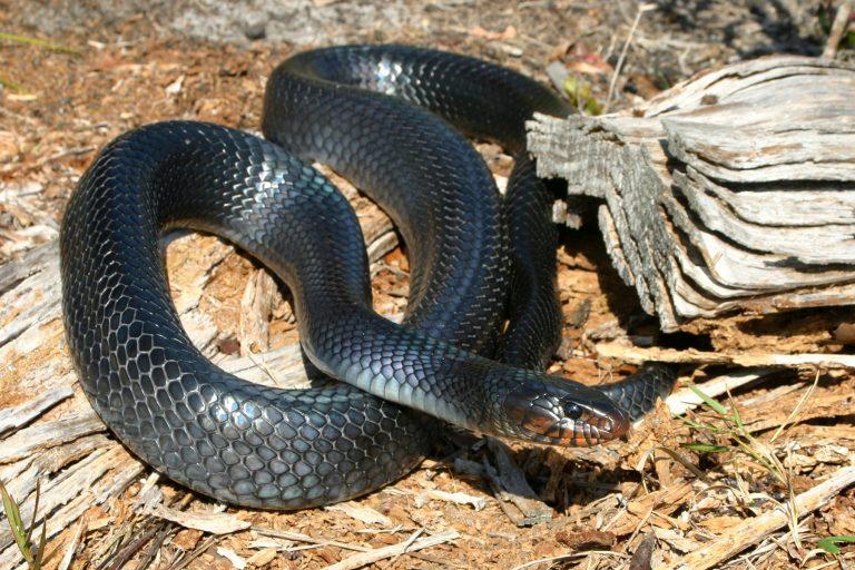 Eastern indigo snake.