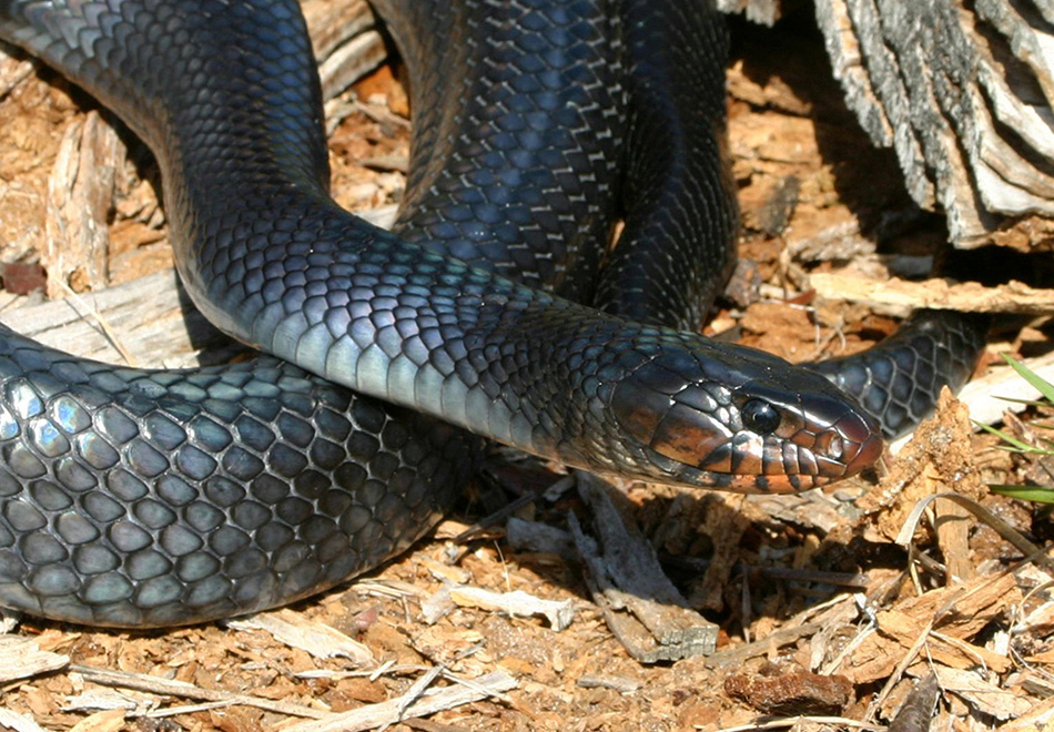 blue-black snake with red marking under its jaw