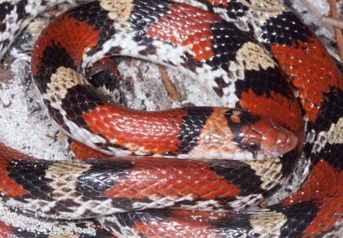 coiled black, red, and yellow snake