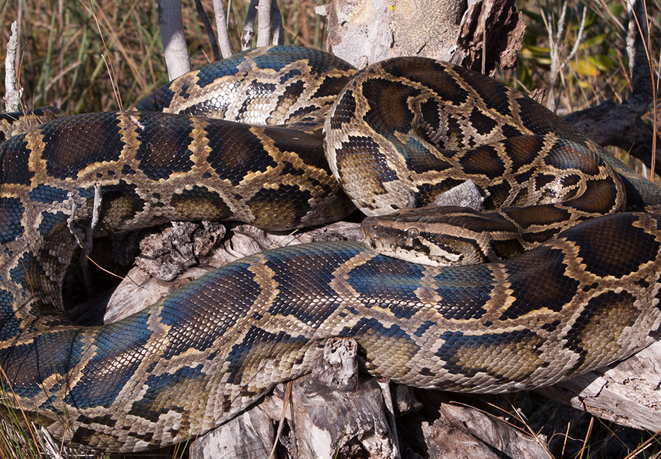 large snake coiled on a tree stump