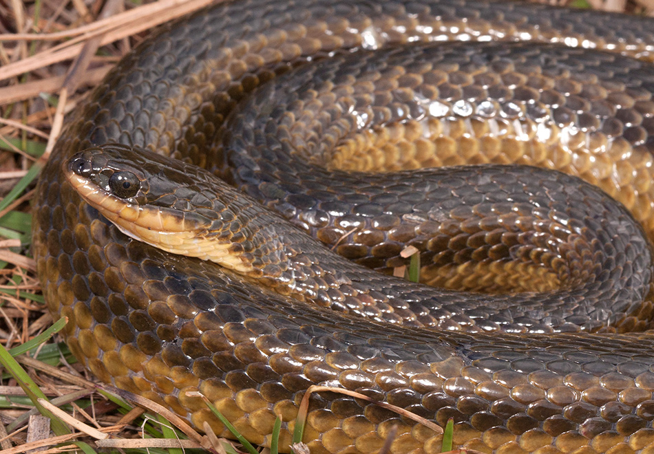 coiled brown and yellow snake