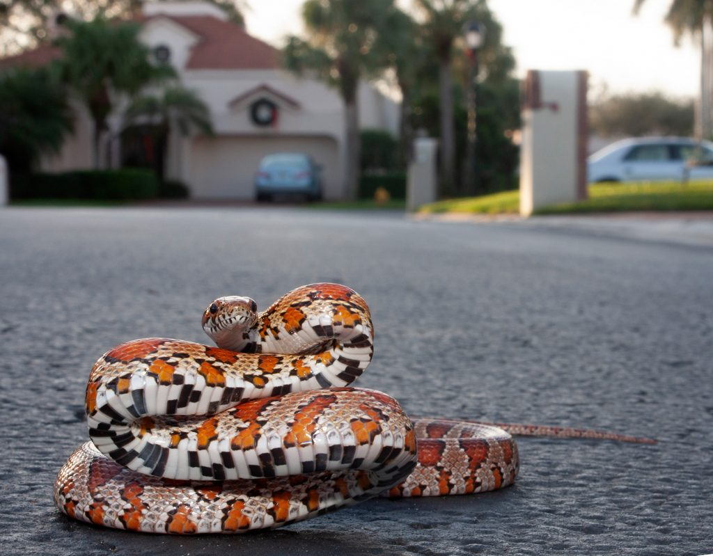 snake with red and orange markings showing black and white striped belly