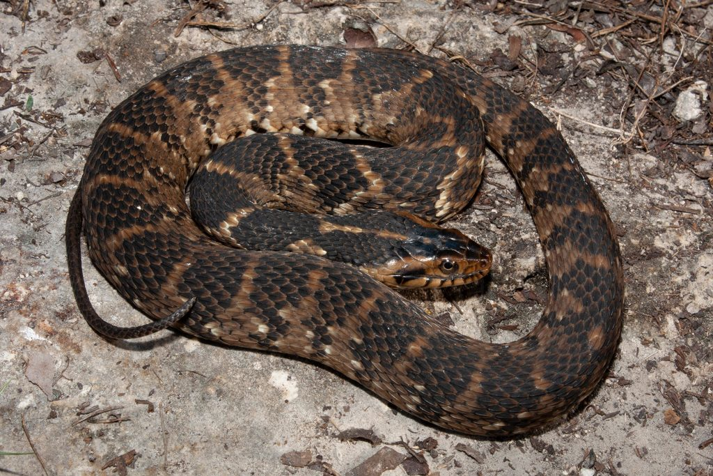 brown snake with dark brown markings