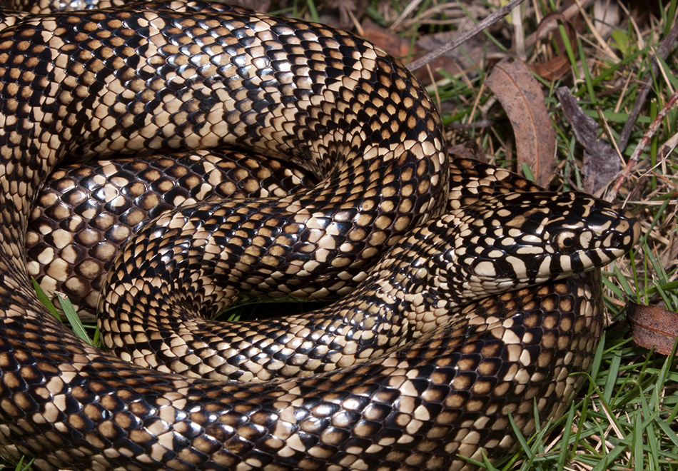 coiled snake with black and yellow scales