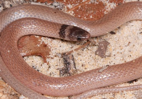 small pink snake with brown head