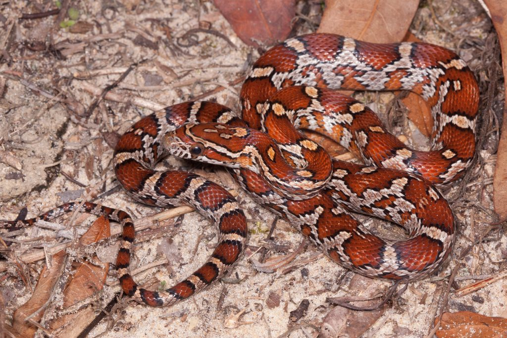 snake with red and orange markings