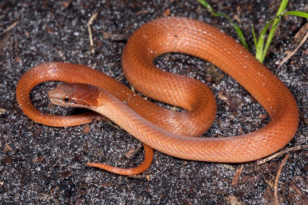 orange brown snake