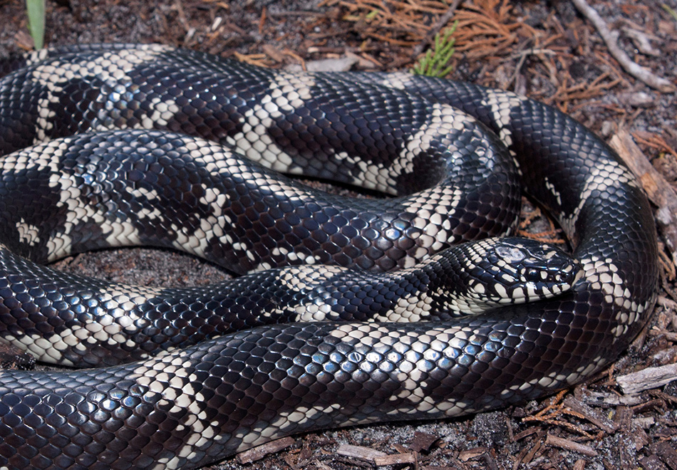 large black snake with yellow rings