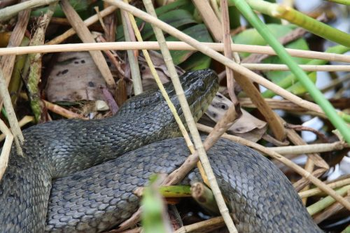 dull green snake in marsh grass