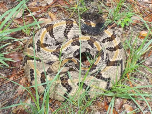 rattlesnake with light coloring and dark stripes