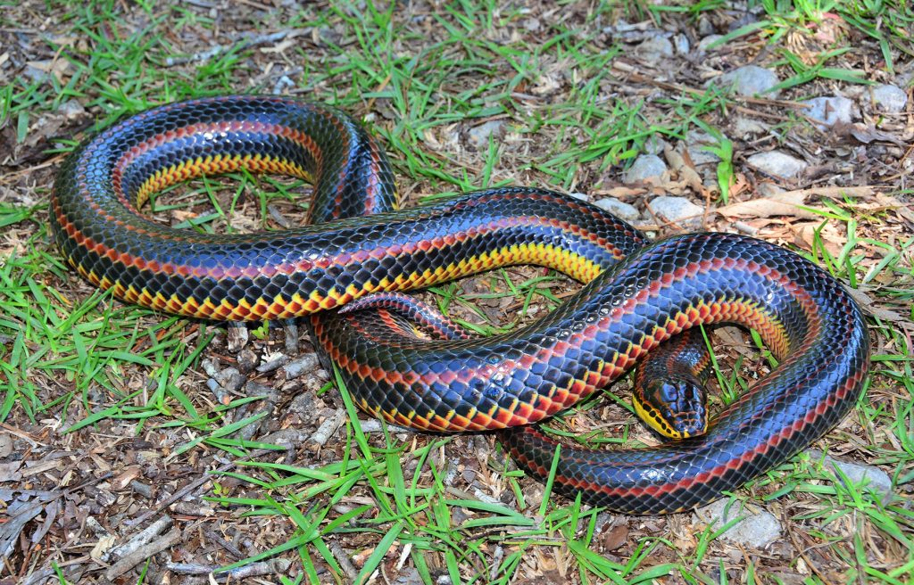long fat snake with black red and yellow stripes