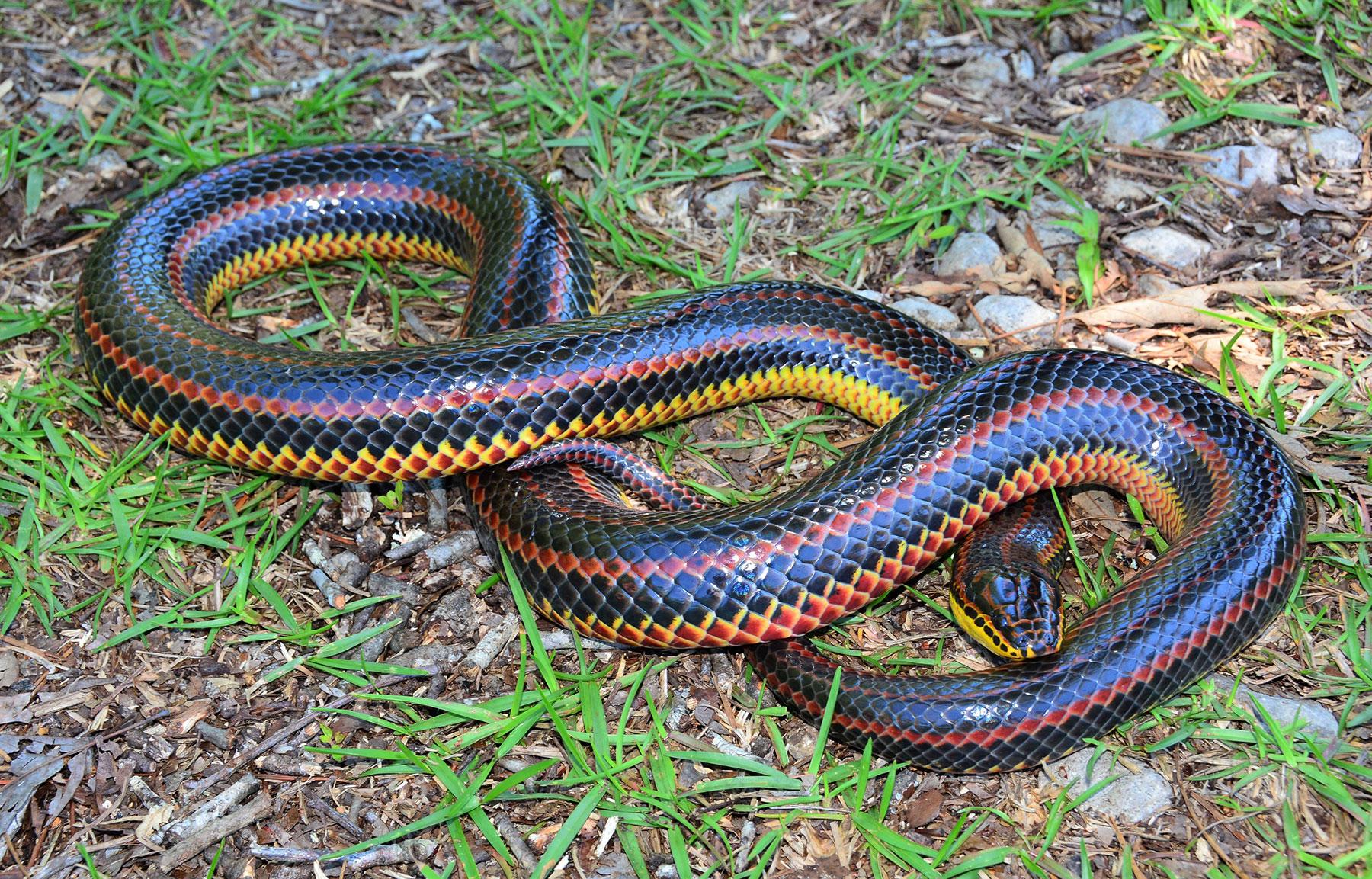 Rainbow Snake U2013 Florida Snake ID Guide
