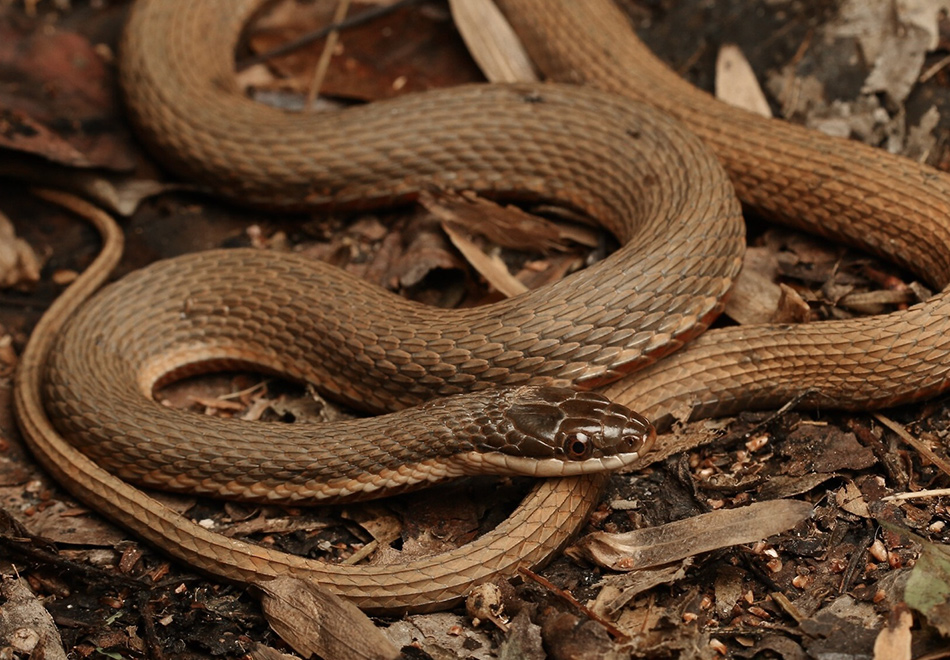 brown snake among brown leaves