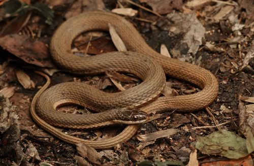brown snake on brown leaves