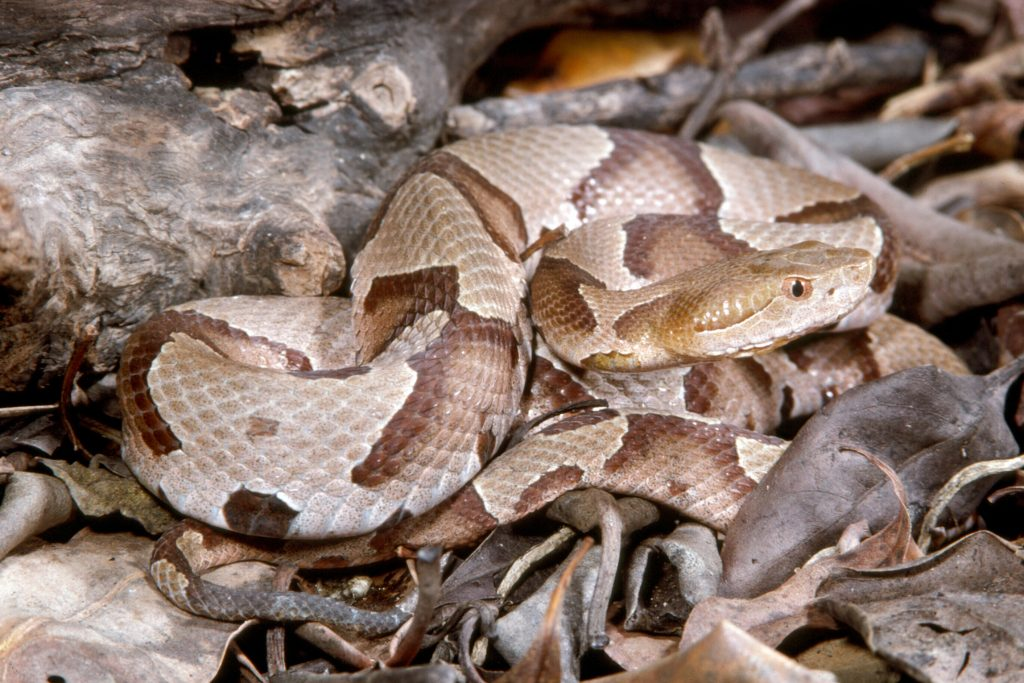 tan and brown patterned snake
