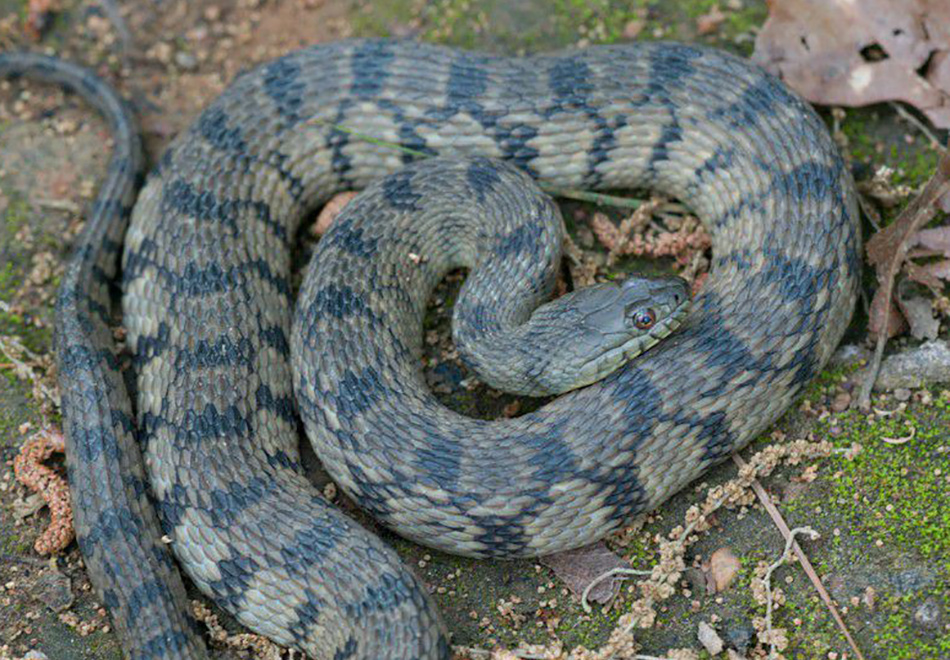 thick snake with gray diamond pattern