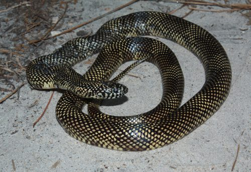 snake with small dark checked pattern
