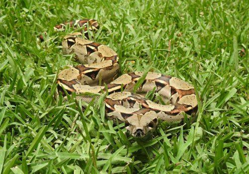 Boa constrictor crawling through green grass