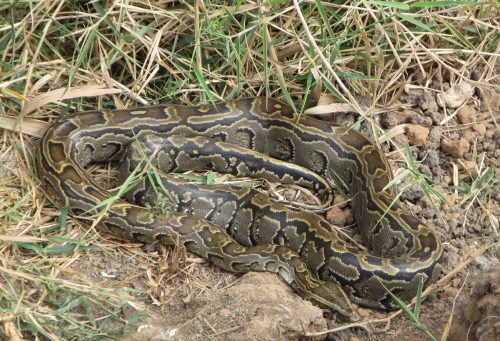 large coiled snake with pattern that blends in with grass