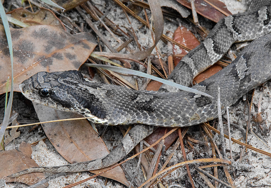 gray snake with upturned nose and gray markings