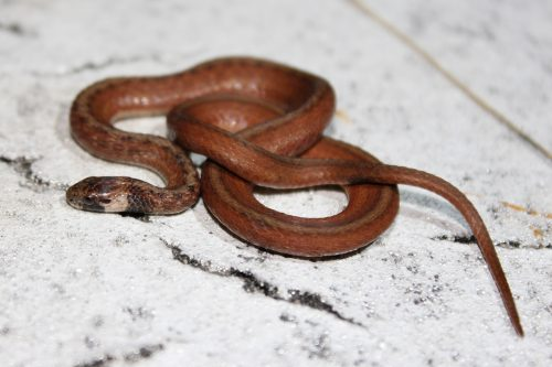 small brown snake with tan under neck