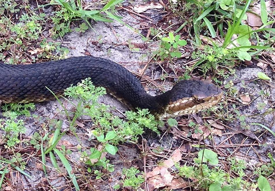 dark snake with tan striped head