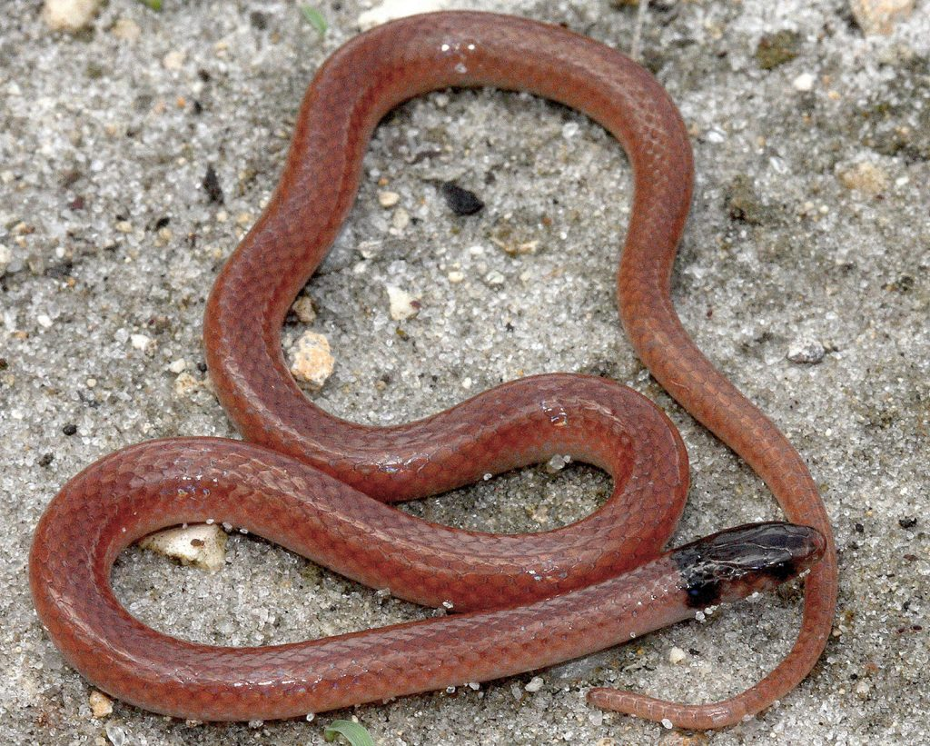 thin snake with reddish body and darker brown head