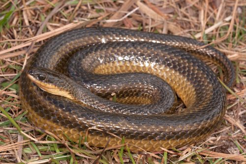 coiled snake with brown stripes