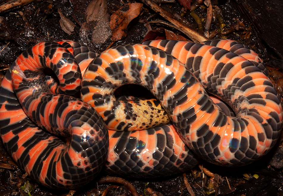 upside down snake showing red and black patterned belly