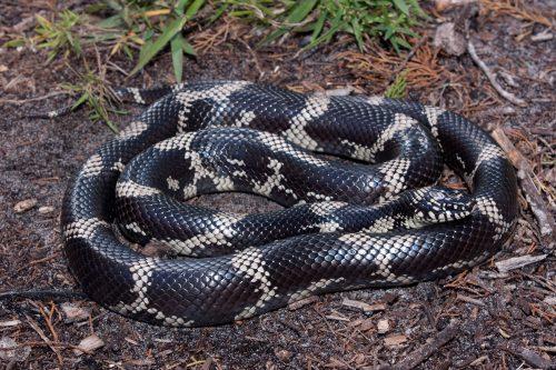 large black snake with tan rings