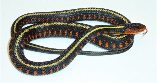 black snake with yellow stripe along the back with orange spots