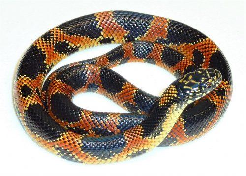 orange snake with black blotches