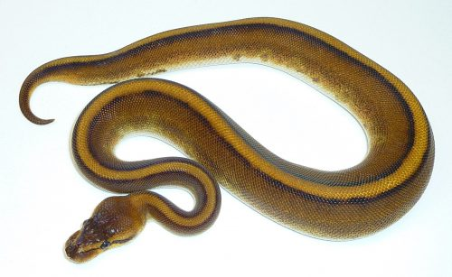 thick tan snake with yellow and black stripes down the back