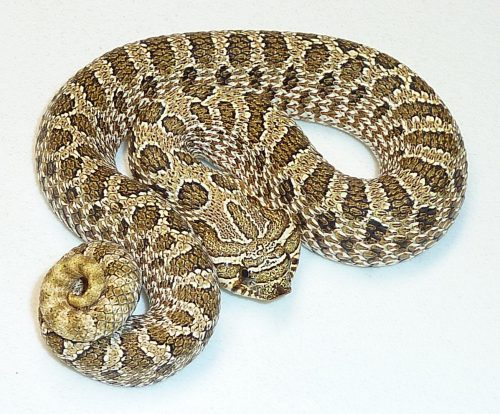 Thick snake with tan and brown coloring and hognose