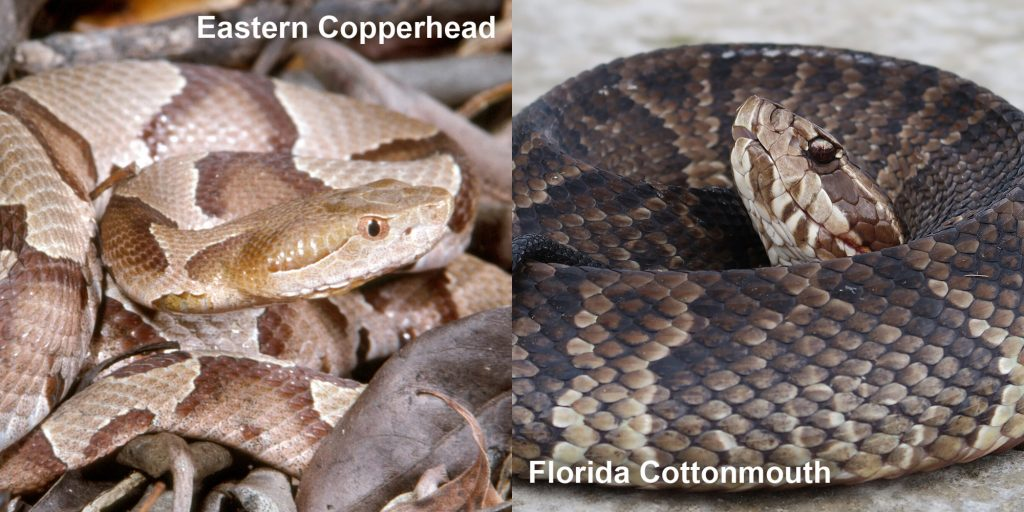Side by side comparison of Eastern Copperhead and Florida Coppermouth