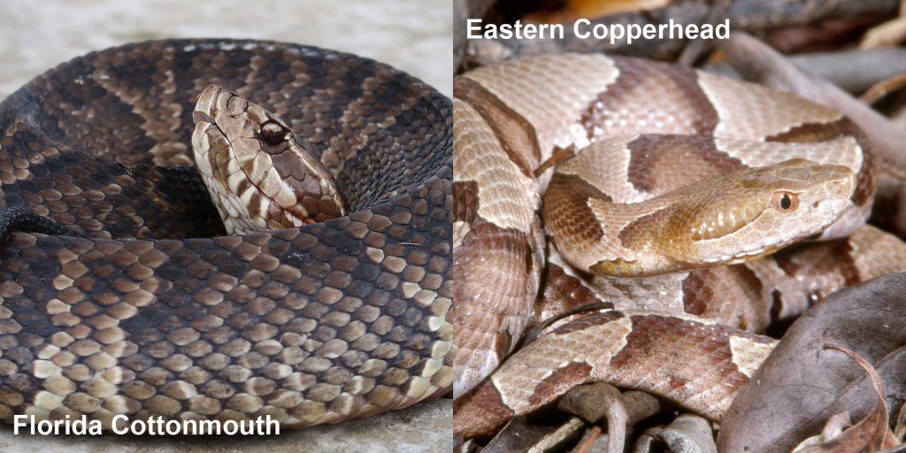 Side by side comparison of Florida Cottonmouth and Eastern copperhead