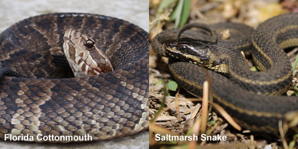 Side by side comparison of Florida Cottonmouth - coiled snake with its head raised and Saltmarsh watersnake - thin brown snake with pale stripes