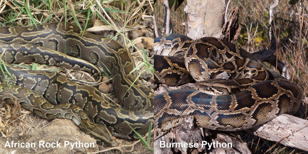 two images side by side - Image 1: African Rock Pythons - large snake with pattern. Image 2: Burmese Python - large snake coiled on a tree stump