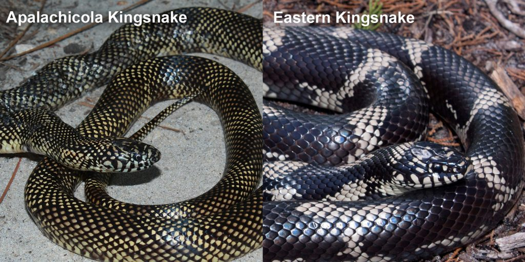 two images side by side - Image 1: Apalachicola Kingsnake - snake with small dark checked pattern Image 2: Eastern Kingsnake- large black snake with tan rings