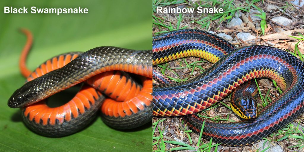 two images side by side - Image 1: Black Swampsnake small black snake with an orange belly. Image 2: Rainbow Snake - long fat snake with black red and yellow stripes.