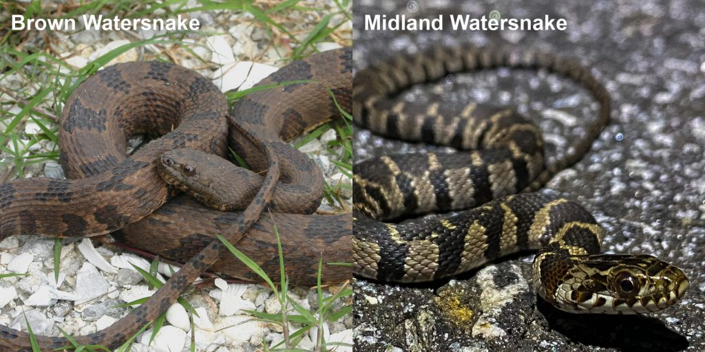 two images side by side - Image 1: brown watersnake - coiled brown snake with dark brown markings. Image 2: Striped Midland Watersnake - small patterned snake on pavement