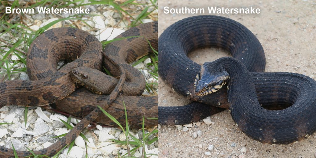Two images side by side - Image 1: Image 1: Adult brown watersnake - coiled brown snake with dark brown markings. Image 2: Southern Watersnake coiled snake with raised head.