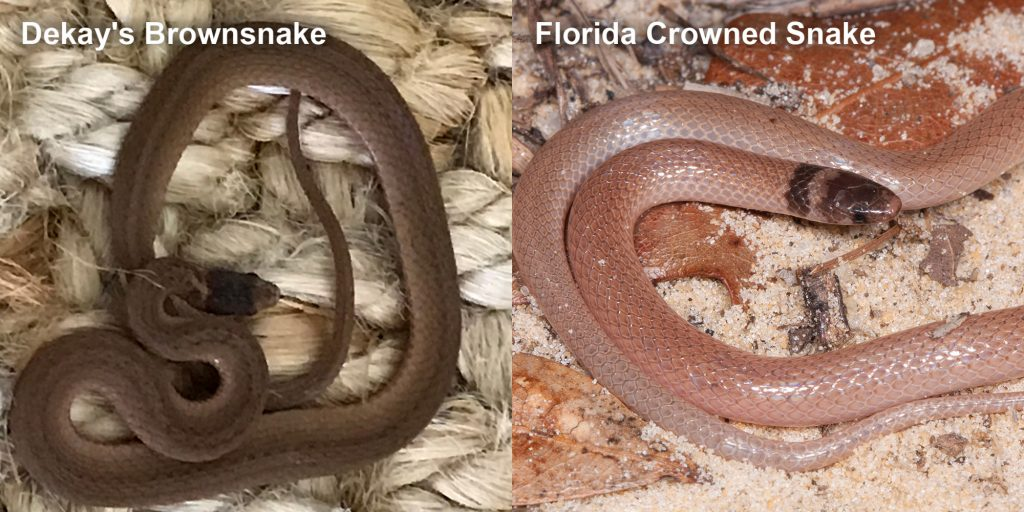 two images side by side - Image 1: Dekay's Brownsnake - small brown snake on fiber. Image 2: Florida Crowned Snake, small pink snake with brown head