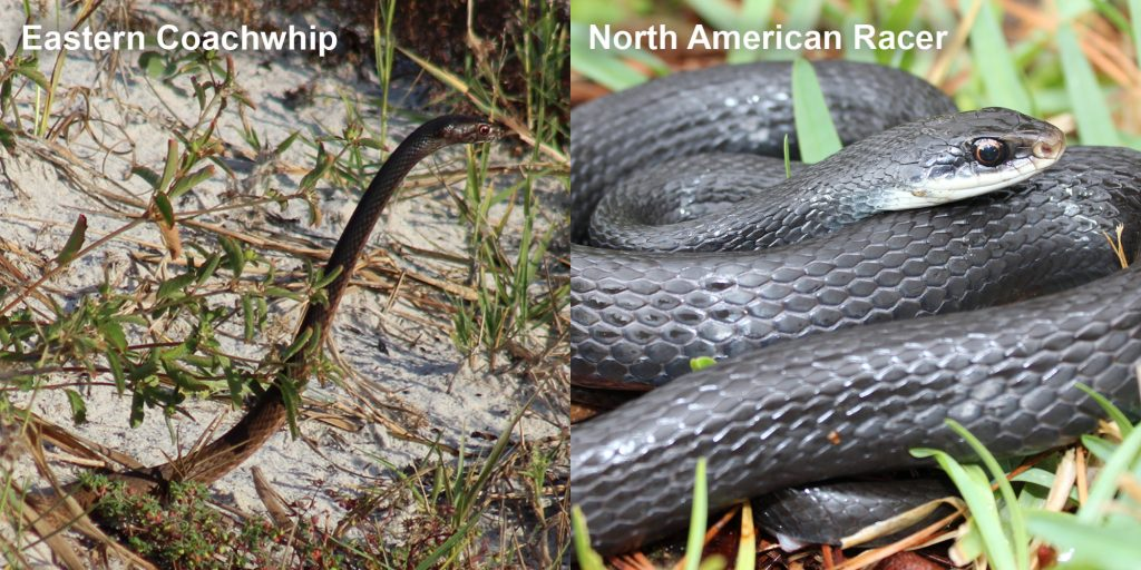two images side by side - Image 1: Eastern coachwhip - snake with its head raised above the grass. Image 2: North American Racer - coiled blue-black snake.