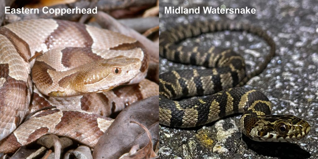 two images side by side - Image 1: Eastern Copperhead - tan and brown patterned snake. Image 2: Striped Midland Watersnake - small patterned snake on pavement