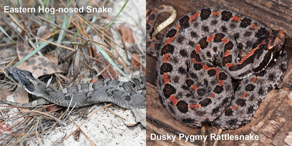 Side by side comparison of the Eastern Hog-nosed snake and the Dusky Pygmy rattlesnake.