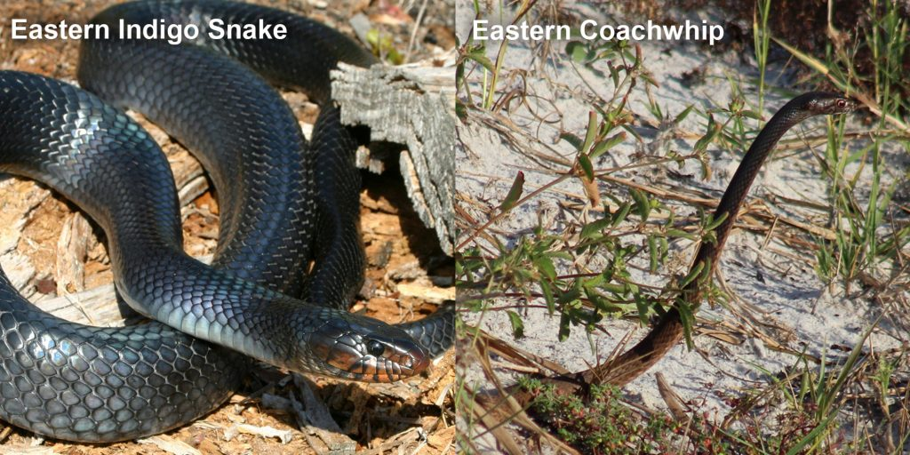 two images side by side - Image 1: Eastern Indigo Snake - blue-black snake with red marking under its jaw. Image 2: Eastern coachwhip - snake with its head raised above the grass.