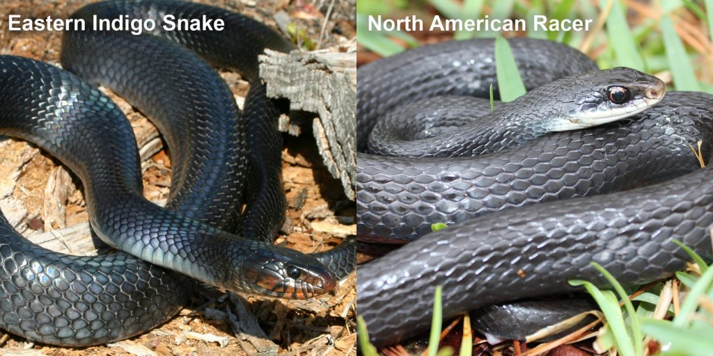 two images side by side - Image 1: Eastern Indigo Snake - blue-black snake with red marking under its jaw. Image 2: North American Racer - coiled blue-black snake.
