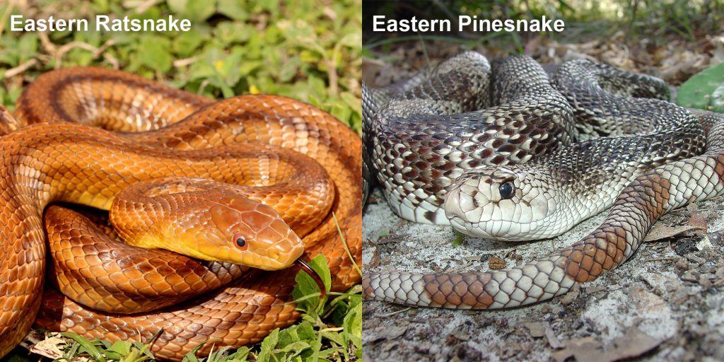 two images side by side - Image 1: Eastern ratsnake - coiled reddish-brown snake with darker stripes. Snake is showing black and red tongue. Image 2: Eastern Pinesnake- snake with brown and white markings coiled on the ground