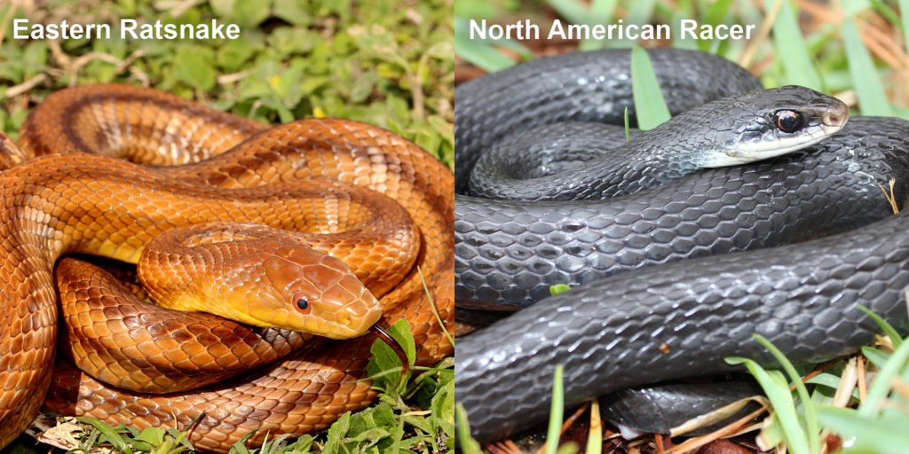 two images side by side - Image 1: Eastern ratsnake - coiled reddish-brown snake with darker stripes. Snake is showing black and red tongue. Image 2: North American Racer - coiled blue-black snake.